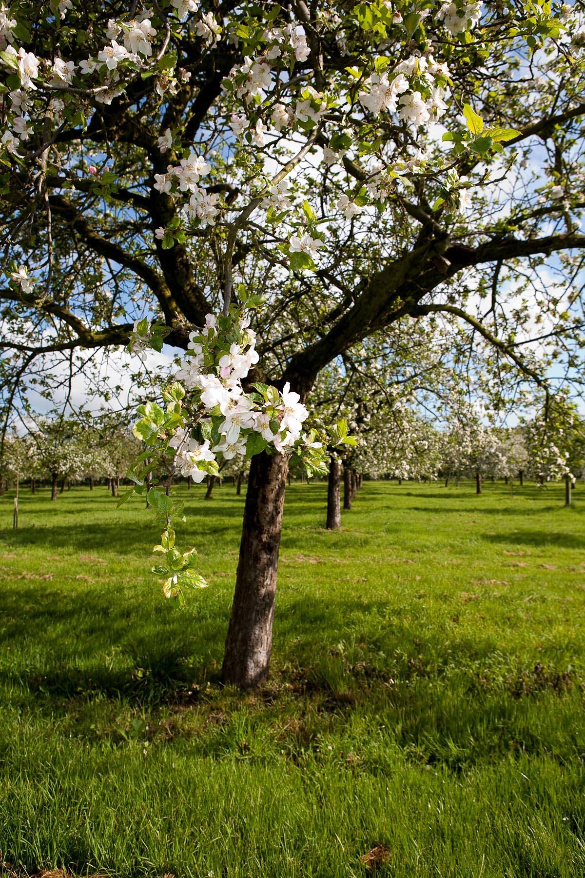 Calvados – owoc Normandii